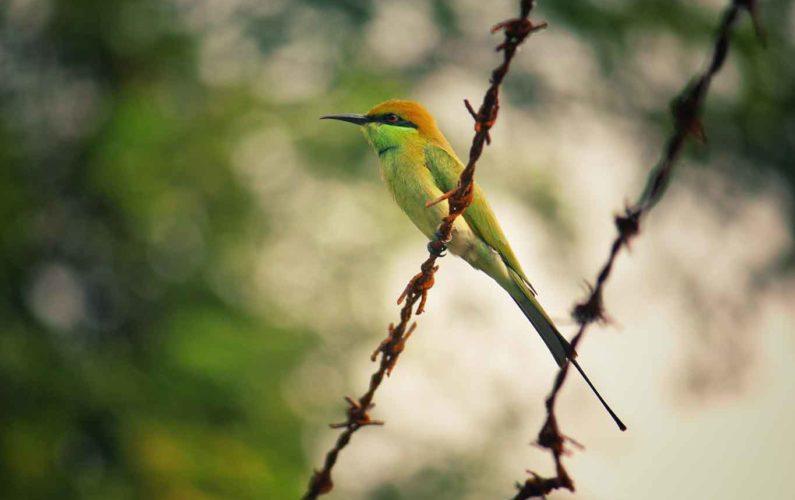 Oiseau sur fil barbelé - vie libre